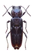 carcoma hylotrupes bajulus
