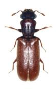 carcoma lyctus brunneus